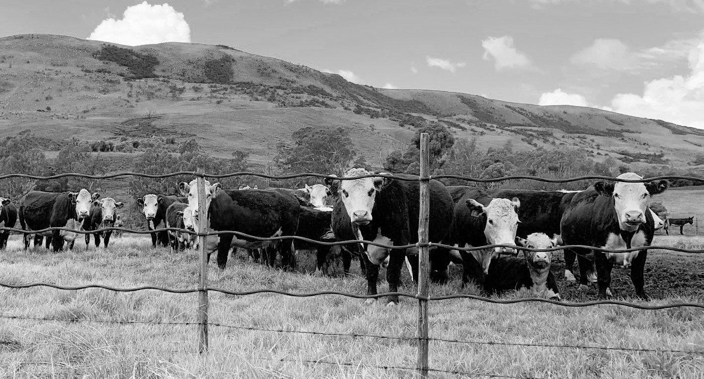 John Eustace's winning Hereford cows grazing on kikuyu pastures.